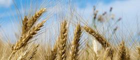 Търговия и отглеждане зърнени култури в Царевец-Свищов - ППОК Изгрев 93