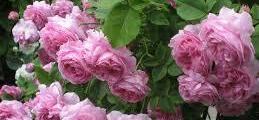 Търговия с маслодайна роза в Казанлък