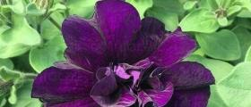 Търговия цветя на едро Любимец