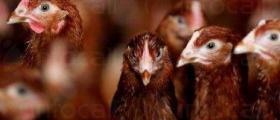 Угояване на птици в Ловеч