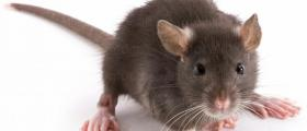 Унищожаване на мишки във Варна