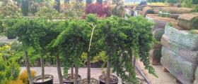 Внос на декоративна растителност Варна