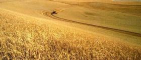 Зърнопроизводство в Банско