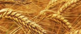 Зърнопроизводство в Драгаш войвода-Никопол
