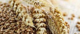 Зърнопроизводство в Жълти бряг-Хасково