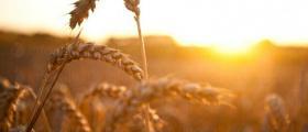Зърнопроизводство в община Поморие, област Бургас