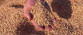 Зърнопроизводство в Тотлебен-Пордим