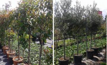 Декоративни дървета и храсти в Бургас и Айтос - Цветя Бургас