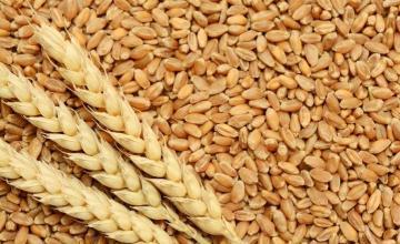 Изкупуване на зърно в Русе - Мелница в Русе