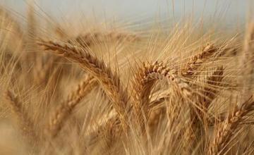 Изкупуване зърно в Разград - Земеделска продукция Разград