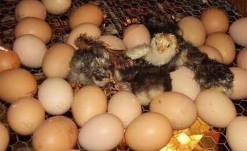 Люпене на еднодневни пилета в Поликраище-Горна Оряховица-Велико Търново - Лагал ЕООД