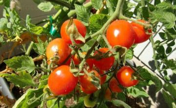 Оранжерийно производство на домати в Кресна
