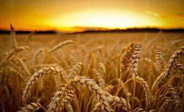 Отглеждане ечемик и пшеница Караисен-Павликени
