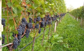 Отглеждане на десертно грозде ранен сорт в Свищов - Агроплод Димитрови ООД