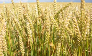 Отглеждане на ечемик и пшеница в Бяла Слатина