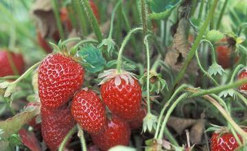 Отглеждане на ягоди в Недан-Павликени - ЗКПУ Златен Клас