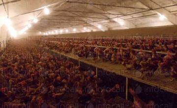 Отглеждане на кокошки-носачки в област Търговище