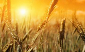 Отглеждане на пшеница и ечемик в Криводол - ТПЗК Импулс