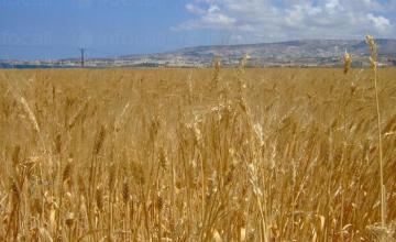 Отглеждане на пшеница и ечемик в Сливен - ЗКПУ Речица 92