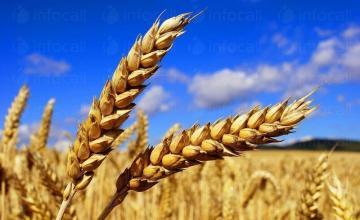Отглеждане на пшеница в Бургас