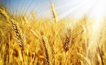 Отглеждане на пшеница в Горно Абланово-Опака - Кооперация Черноломие