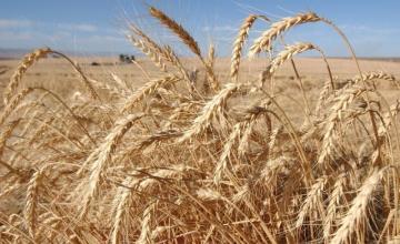 Отглеждане на пшеница в Кнежа-Плевен
