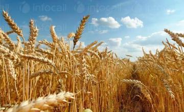 Отглеждане на пшеница в Лепица-Червен бряг