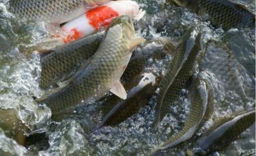Отглеждане на риба в Пирдоп - Олопласт Груп