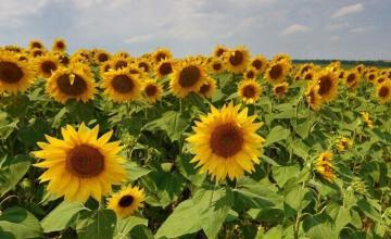 Отглеждане на слънчоглед и ечемик в Септември-Пазарджик