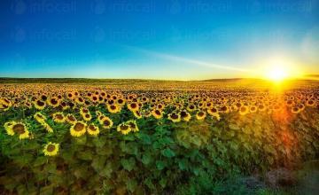 Отглеждане на слънчоглед в Бургас