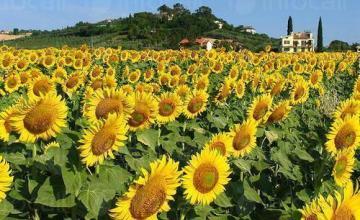 Отглеждане на слънчоглед в Криводол - ТПЗК Импулс