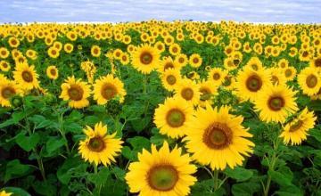 Отглеждане на слънчоглед в Лепица-Червен бряг