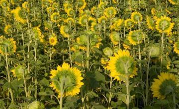 Отглеждане на слънчоглед в Липен-Монтана - Мото Макс - Аврам Василев