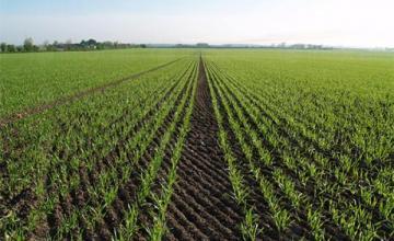 Отглеждане на царевица