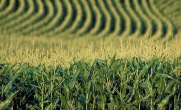 Отглеждане на царевица в Горно Абланово-Опака