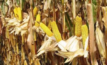 Отглеждане на царевица в Кнежа-Плевен
