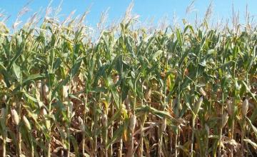 Отглеждане на царевица в Липен-Монтана - Мото Макс - Аврам Василев