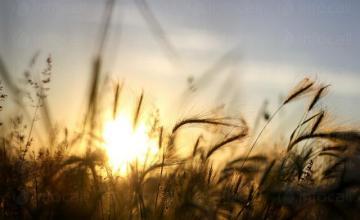 Отглеждане на зърнени култури в Нови Пазар