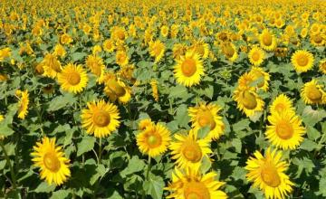 Отглеждане слънчоглед в Сливо поле