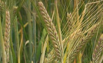 Отглеждане зърнени култури в Пет могили-Шумен - ЗКПУ Земляк