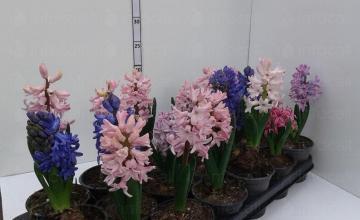 Продажба и доставка на цветя в Бургас - Цветя Бургас