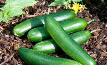 Продажба на зеленчукови семена в Долни чифлик-област Варна - Агрощил България