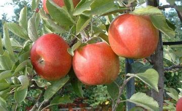Производство и търговия ябълки в Бургас - ЕТ ИДА – И – Иван Димов