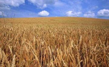 Производство и търговия с пшеница в Нова Върбовка-Стражица