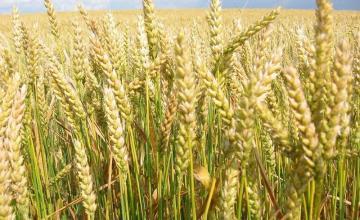 Производство и търговия с пшеница в Обнова-Левски - ВПТК ЗОРА 99
