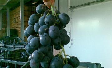 Производство на грозде в Страцин-Поморие