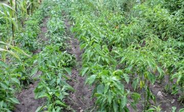 Производство на пипер Първомай - Селскостопанска продукция Първомай