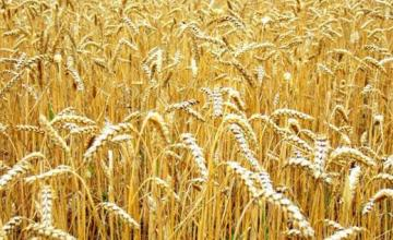 Производство на пшеница и слънчоглед в Нови пазар - Виван ЕООД
