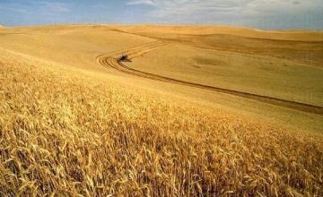Производство на пшеница в Баня-Карлово - Кооперация Надежда