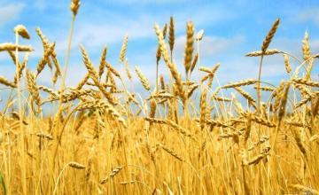 Производство на пшеница в Хърлец-Козлодуй - ПТЗК Аугуста